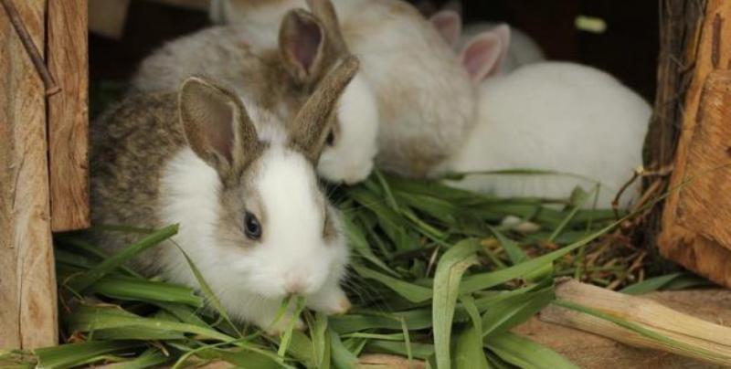 Лечение и профилактика кокцидиоза у кроликов