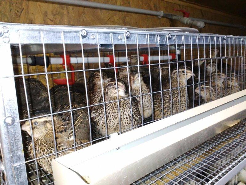 Домашним птицеводам: корм для перепелов