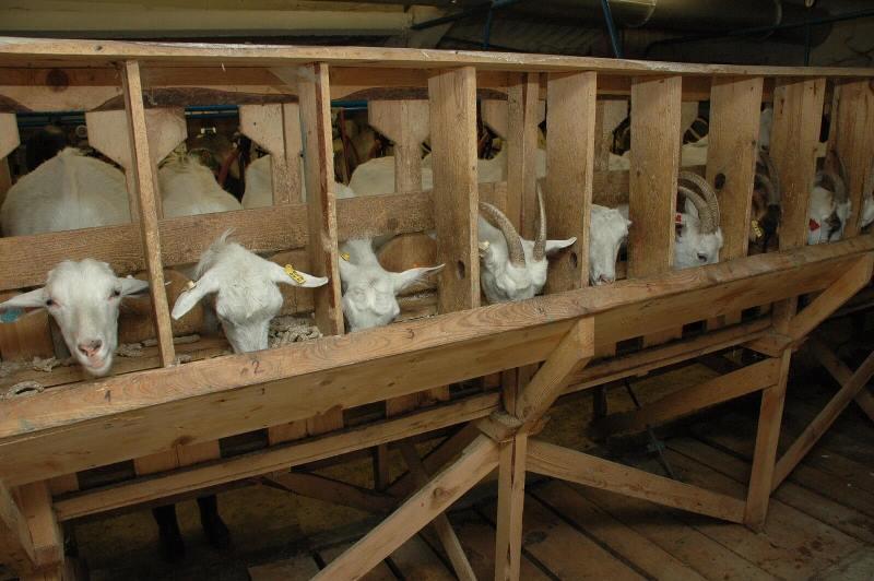 Каким должен быть козлятник и кормушка для коз