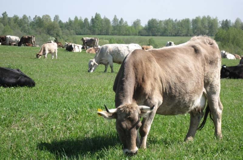 Комбинированная костромская порода коров