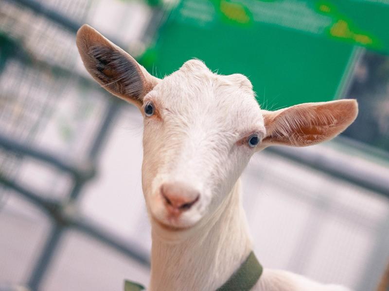 Чистокровные зааненские козы