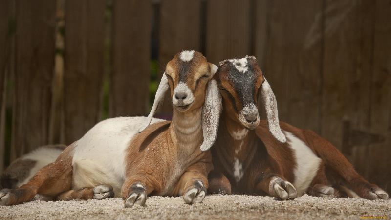 Популярные породы молочных коз без запаха