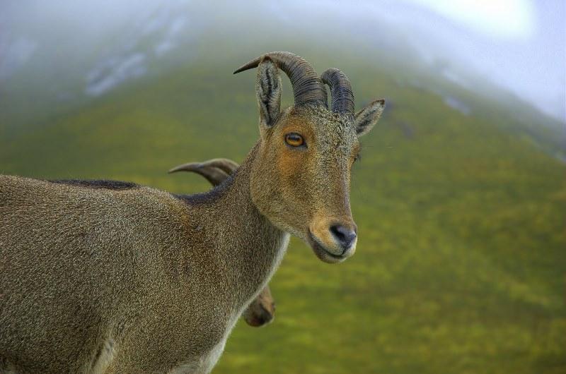 Дикая коза: описание и места обитания