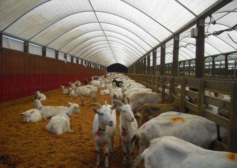 Чем и как правильно кормить коз зимой