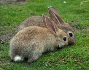 Процесс спаривания кроликов