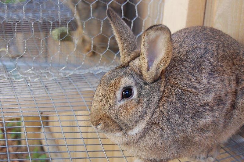 Как самостоятельно определить пол у кролика