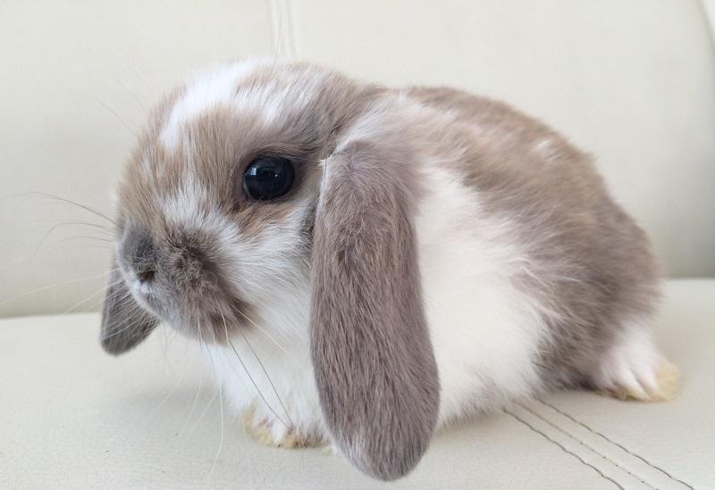 Вислоухий кролик баран: описание и разведение