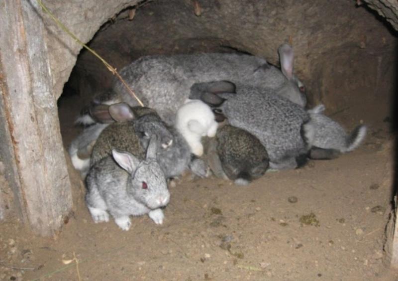 Как развести кроликов в яме