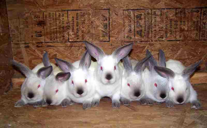 Чем хороши кролики калифорнийской породы