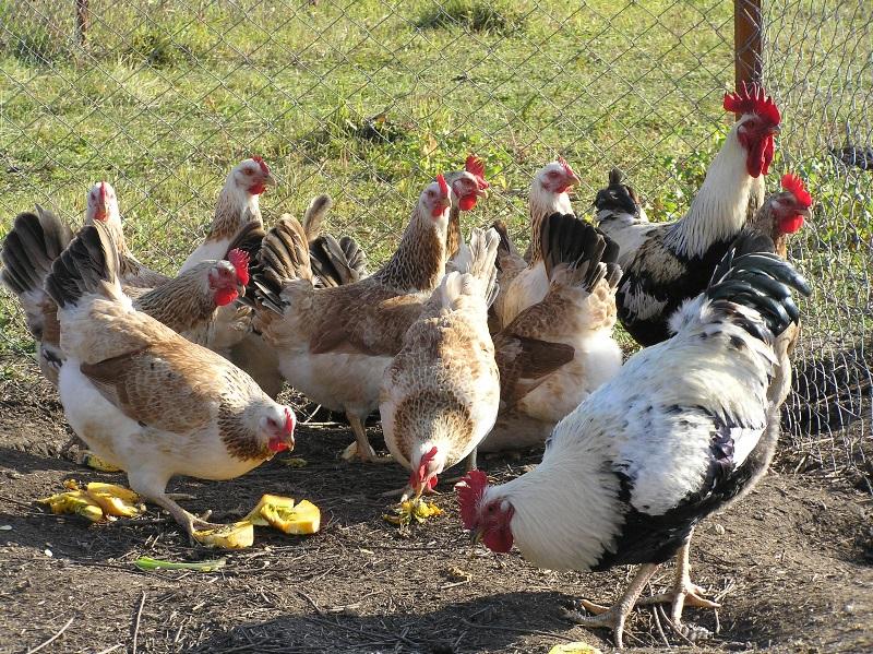 Мясо-яичная пушкинская порода кур