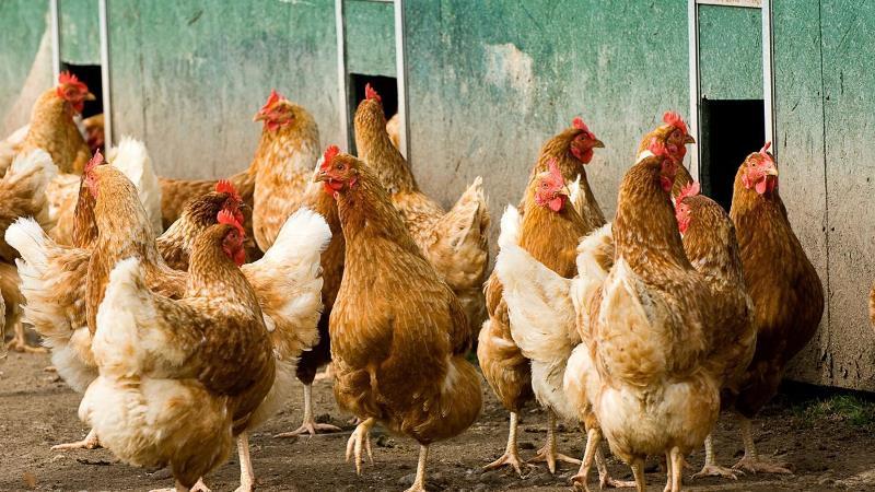 Основные мясные породы кур