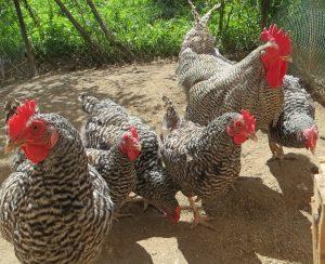 Курицы амрокс: описание породы