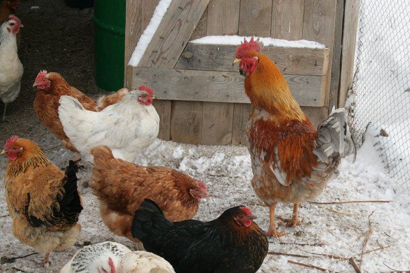Выращивание кур в домашних условиях породы кур 85