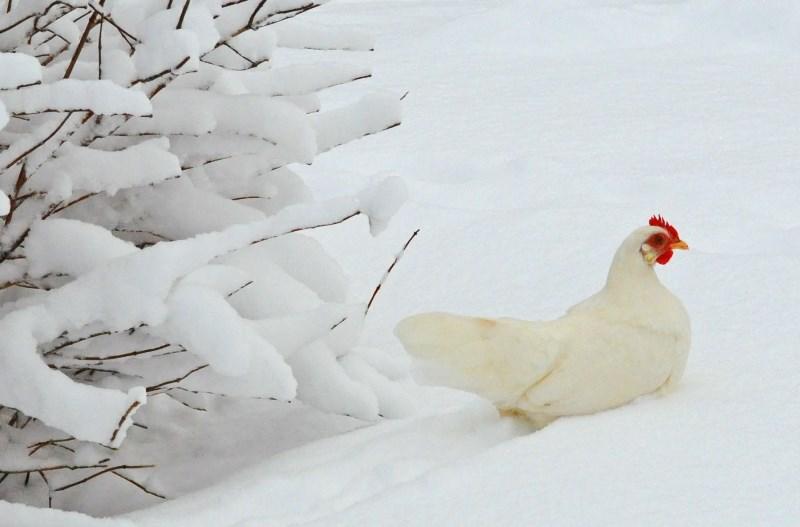 Какую температуру выдерживают индюки и куры зимой