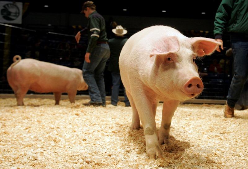 Разведение свиней породы ландрас
