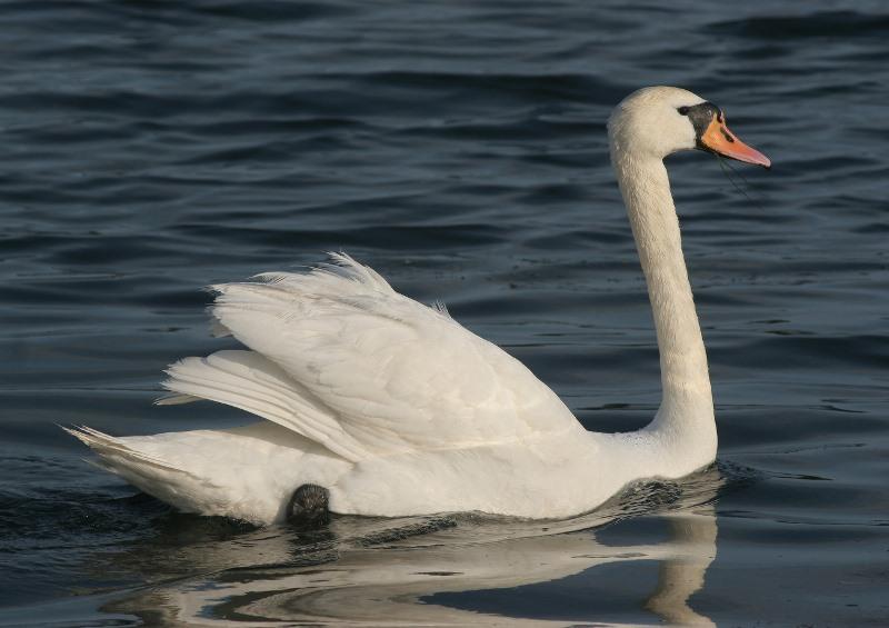 Белый лебедь шипун