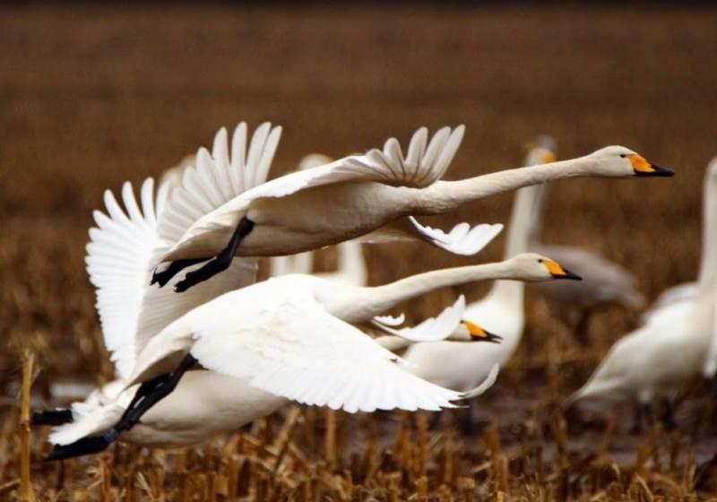 Благородный лебедь: перелетная птица или нет