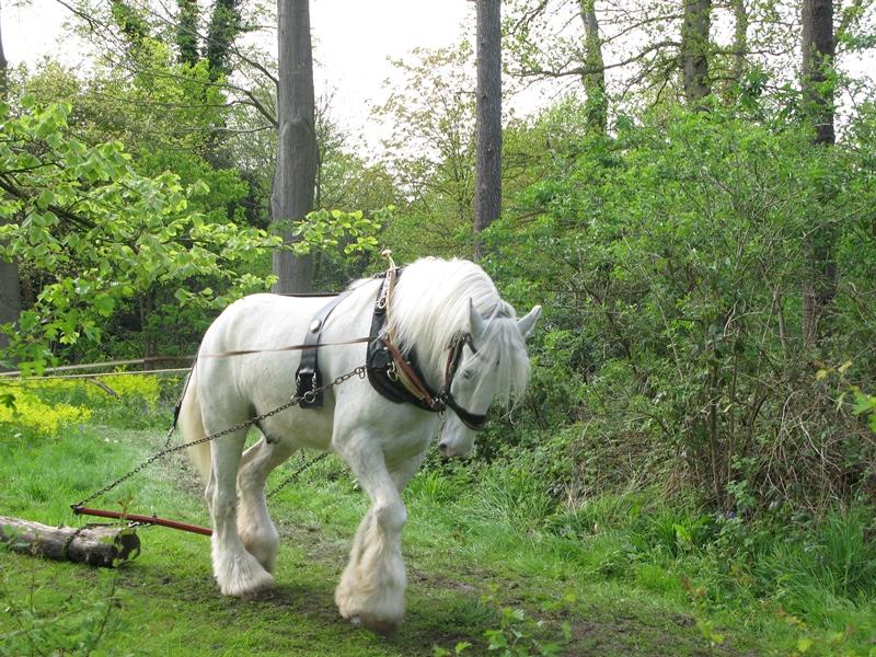 Лошади породы шайр: красавцы и гиганты