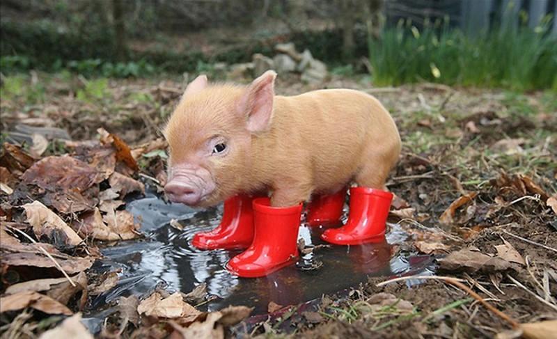 Член свиньи