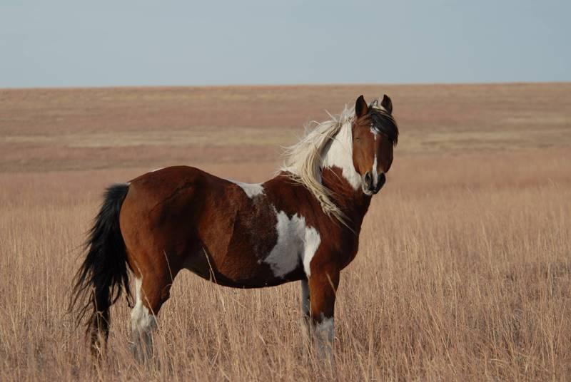 Лошадь мустанг: описание и происхождение породы, образ жизни