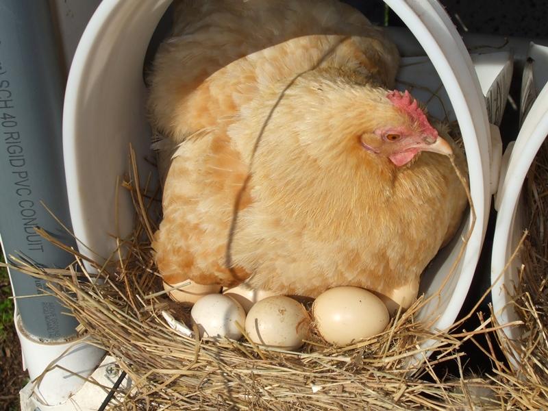 Особенности ухода за курицей-наседкой