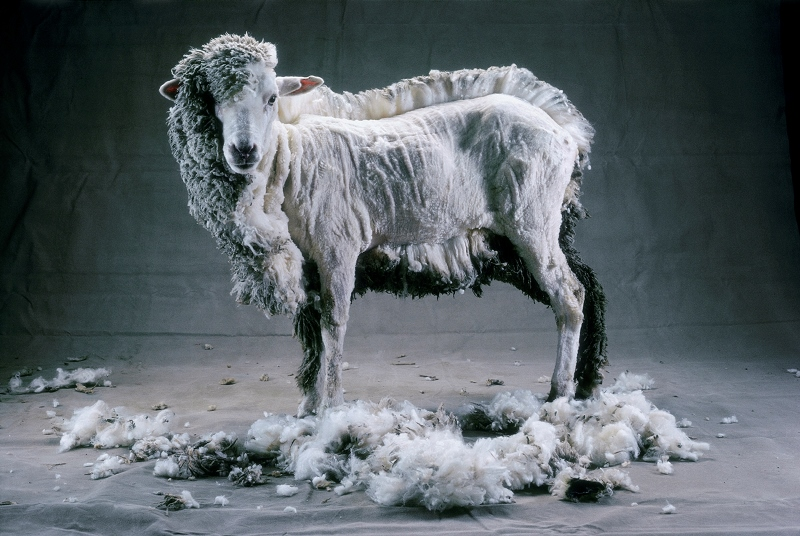 Как используют ножницы для стрижки овец