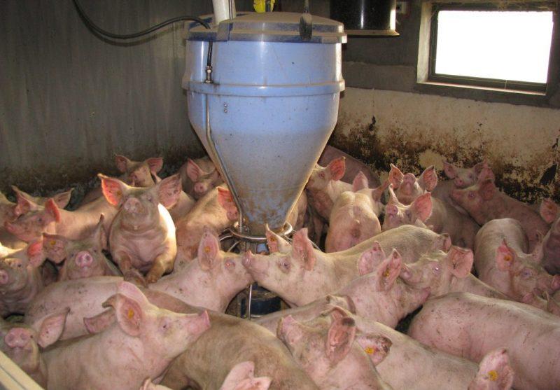 Эффективный способ откорма свиней