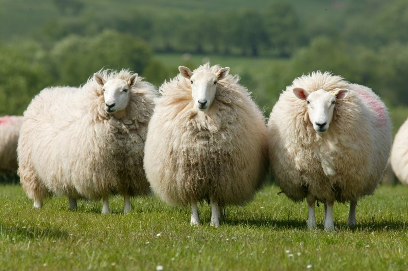 Основные породы овец