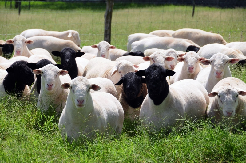 Основные мясные и мясо-сальные породы овец