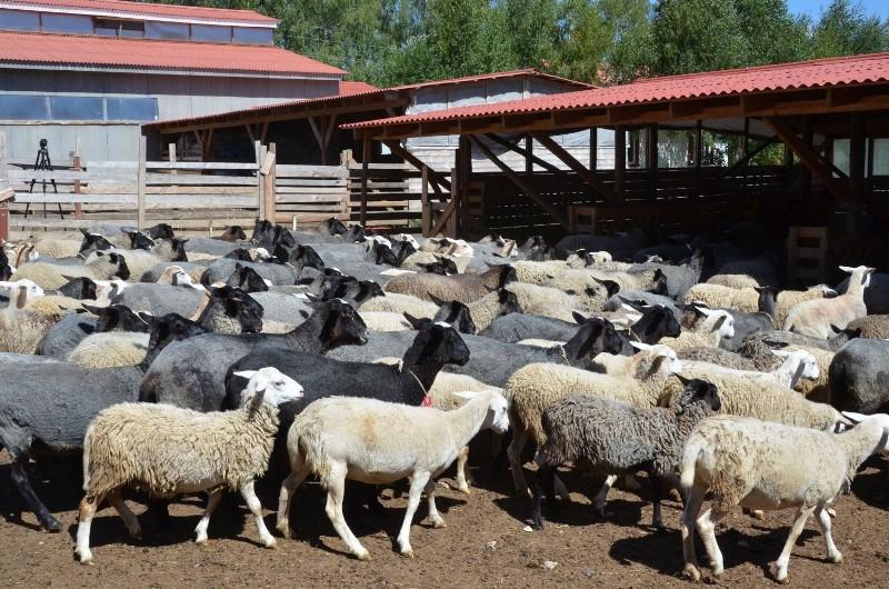 Тонкости разведения овец в домашних условиях