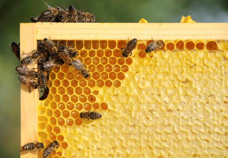 Секрет пчеловода: пчелопакеты на пасеке