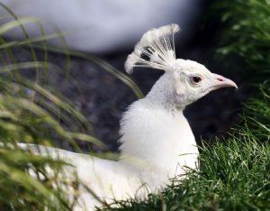 Описание и особенности белого павлина