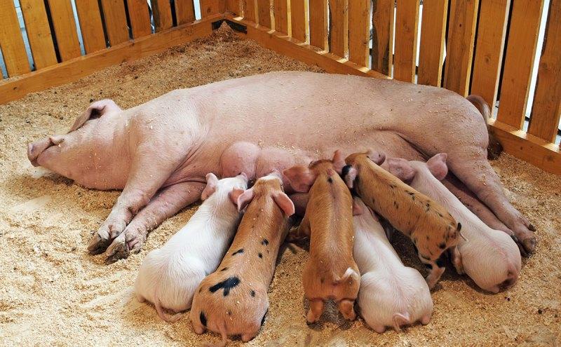 Особенности случки свиней