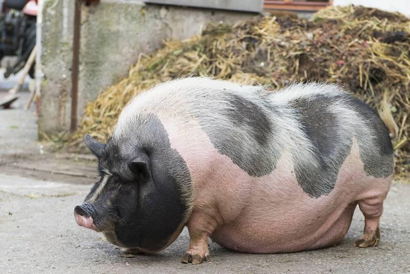 Какая свинья самая большая в мире?