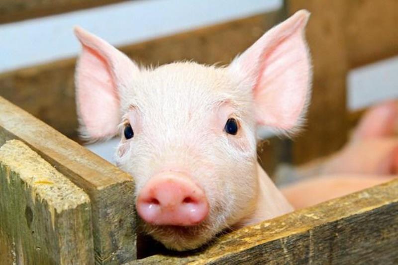 Аскаридоз у свиней: симптомы, лечение, профилактика