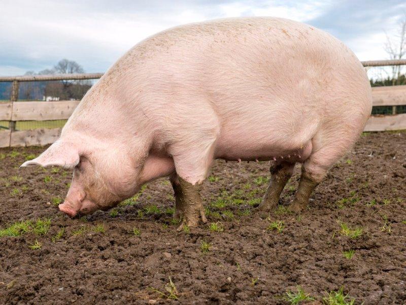 БМВД (биодобавки) для свиней: правильное применение и польза