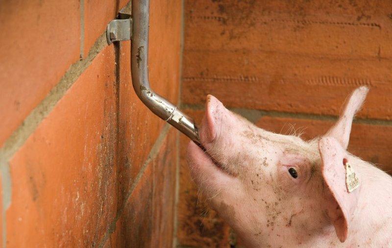 Какими должны быть поилки для свиней