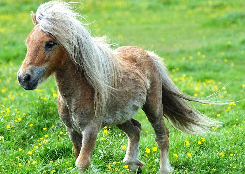 Карликовые кони пони: разновидности и особенности