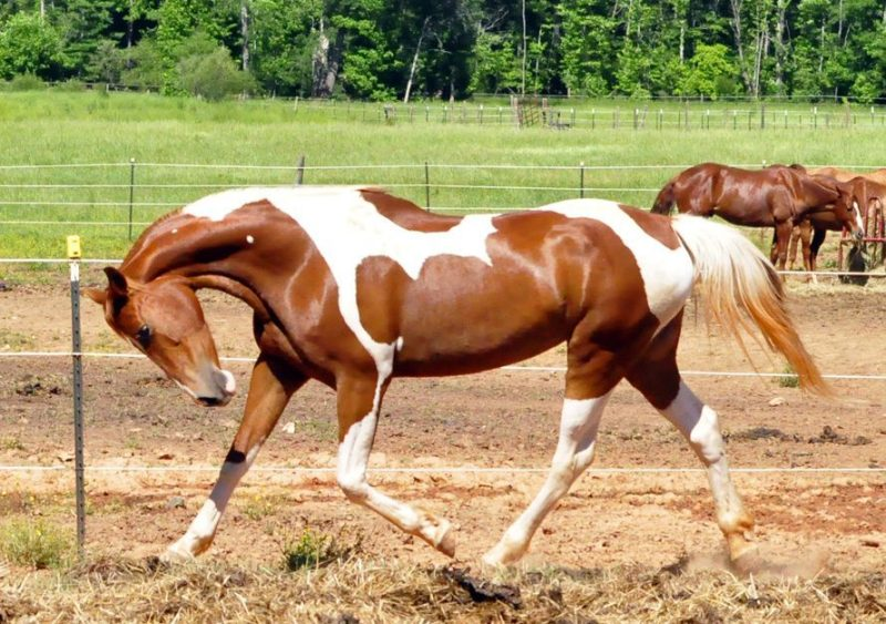 Популярные породы лошадей