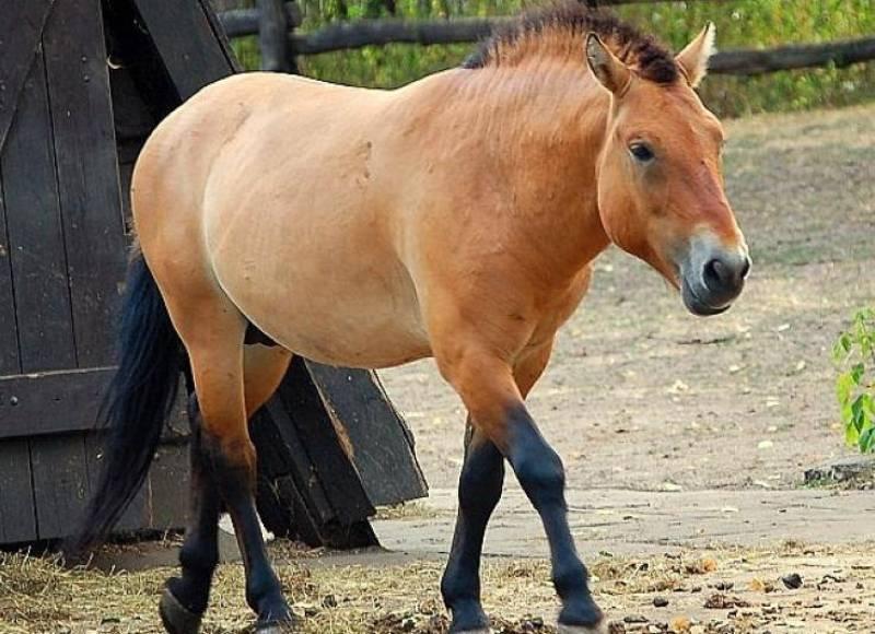 Кто такая лошадь Пржевальского