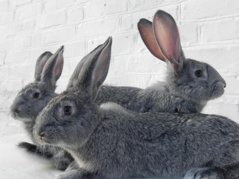 Шиншилловый кролик: описание и условия содержания