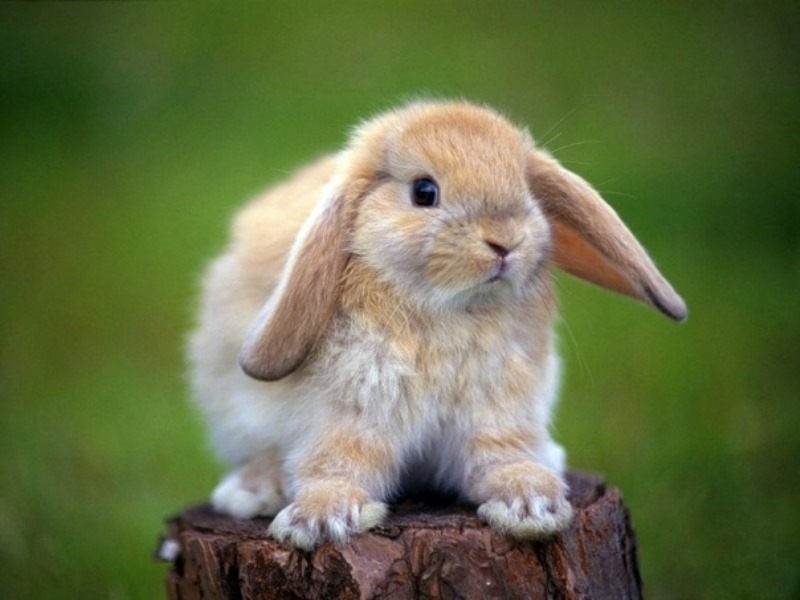 Как проявляется ушной клещ у кроликов?