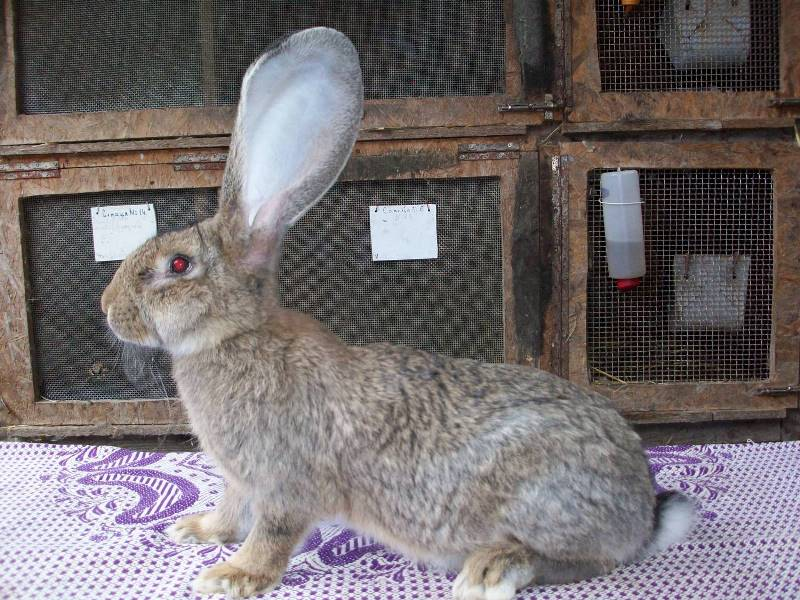 Разведение кроликов породы Ризен