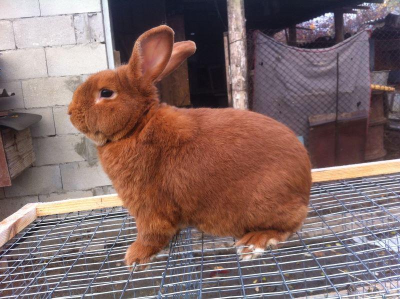 Описание новозеландского кролика