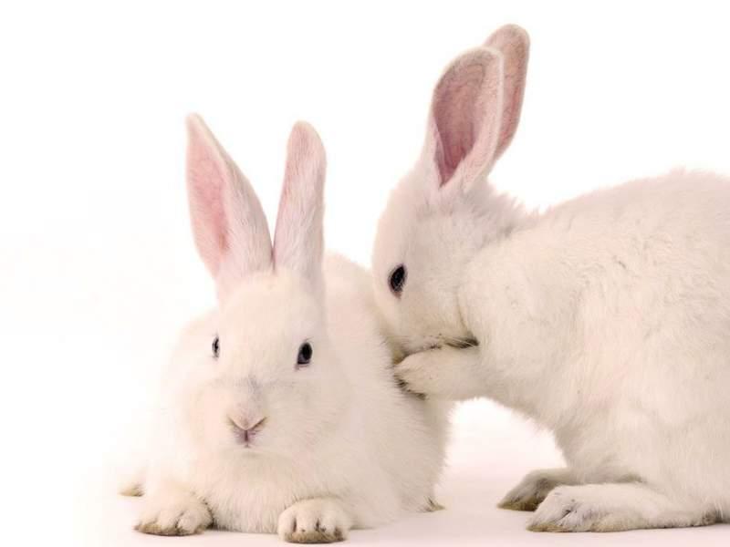 Мокрец у кроликов: причины и лечение инфекционного стоматита
