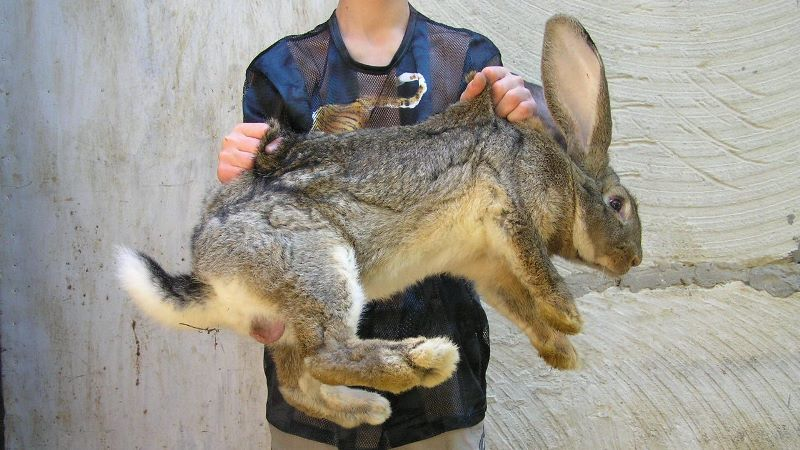 Отличительные черты кроликов великанов