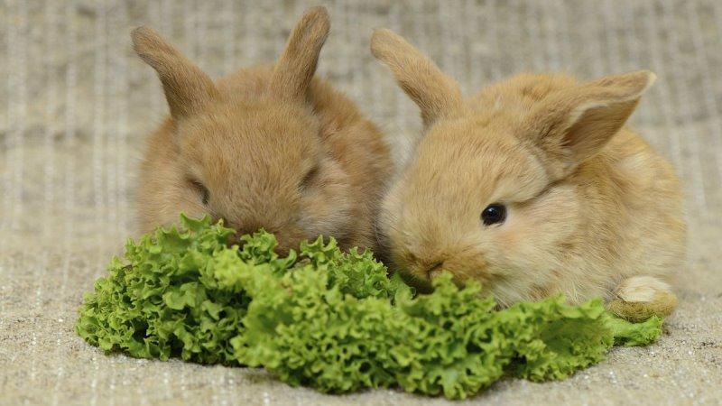 Как и чем кормить кроликов в домашних условиях