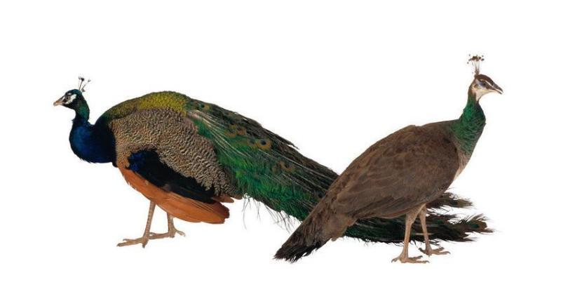 Как выглядит самец и самка павлина