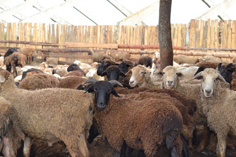Овцы на мясо в домашних условиях 747