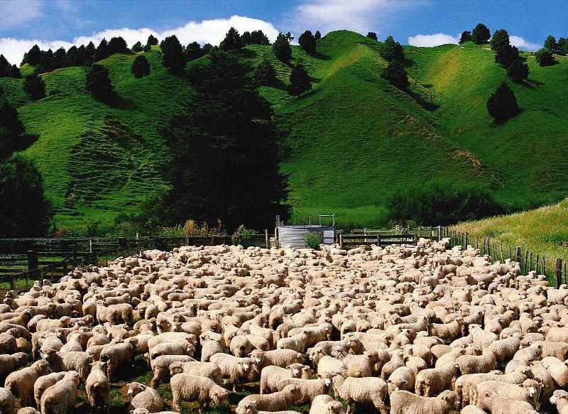 Рентабельность бизнеса по разведению овец и баранов